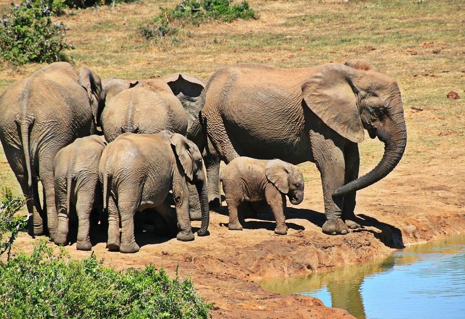 Una manada de elefantes africanos beben agua en un estanque. Foto: Pixabay