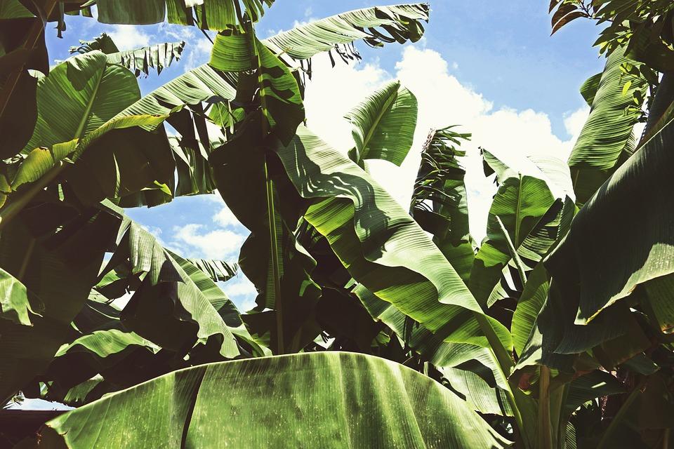 Plantas de Musa × paradisiaca. Foto: Pixabay
