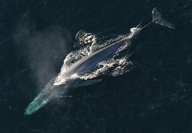 Una ballena azul respira por su espiráculo en la superficie. Foto: NOAA