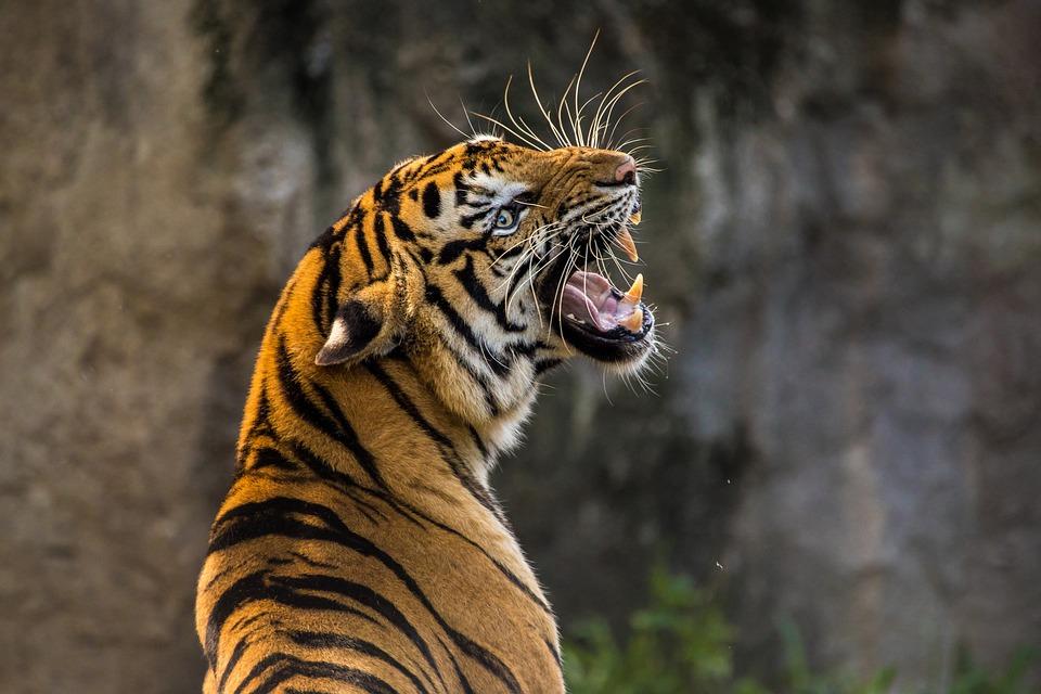 En la actualidad hay más tigres en cautiverio que en estado salvaje. Foto: Pixabay