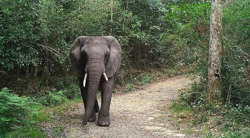 Esta es la única elefanta que vive en el parque Knysna, en Sudáfrica. Foto: Lizette Moolman / Parques Nacionales de Sudáfrica