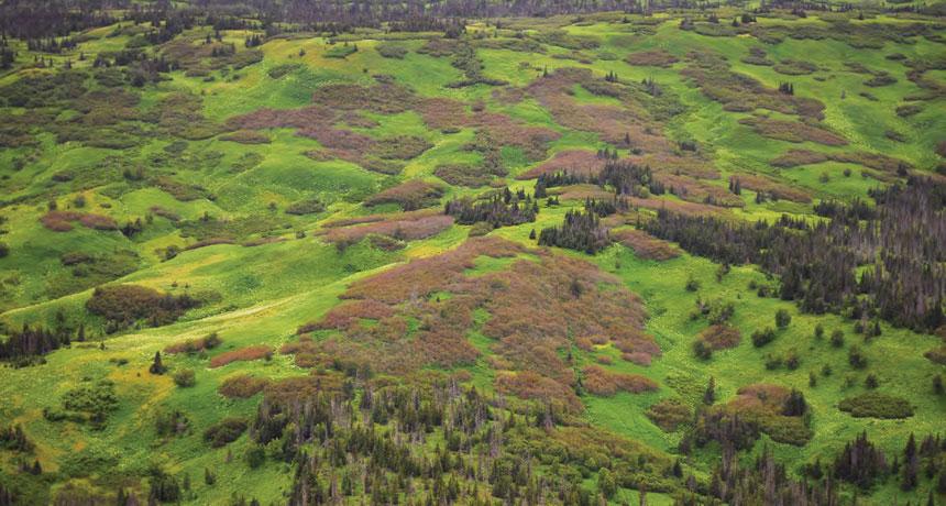 En el sur de Alaska en 2012, las polillas geométridas y otros insectos arrasaron con arbustos que se volvieron marrones y no dieron frutos. Foto: Servicio Forestal de EE.UU.