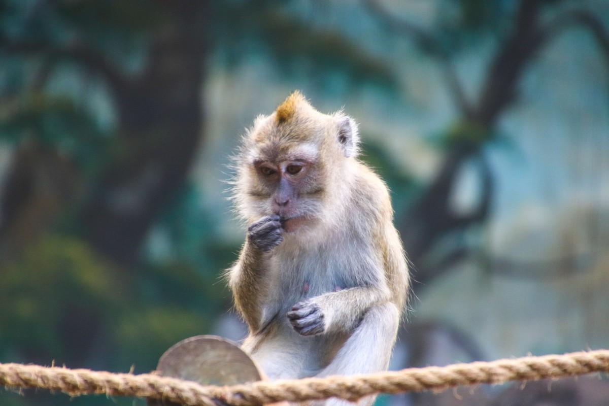 Un ejemplar de Macaco Rhesus o Macaca Mulata. Foto: Pxhere