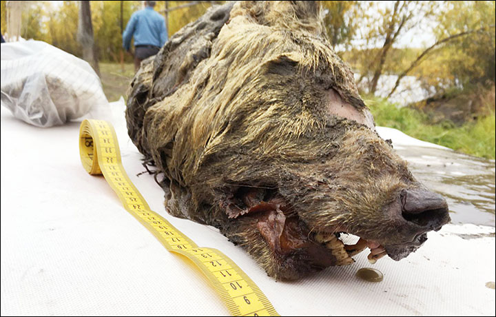 Pleistocene wolf head
