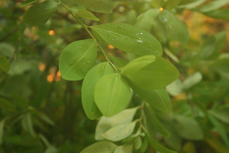 """DescripciónErythroxylum coca. Sus hojas se usan para mascar y evitar el """"mal de alturas"""", así como para la producción de cocaína. Foto: Wikimedia Commons"""
