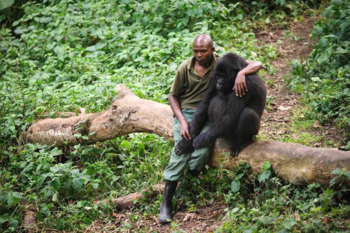 mz1m9-sad-gorilla-loses-mom