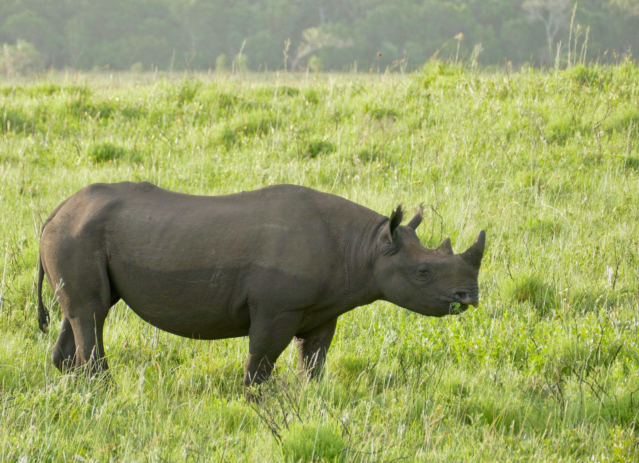 Un rinoceronte negro en Eastern Shores, iSimangaliso Wetland Park, St Lucia, KwaZulu-Natal, Sudáfrica. Foto: Flickr / Bernard Dupont