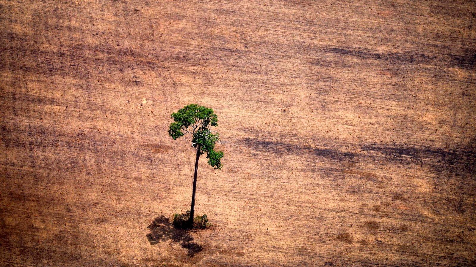 Un árbol sobrevive a la deforestación en la Amazonia