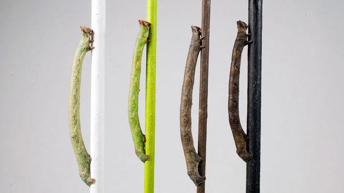 peppered-moth-caterpillars_1280p
