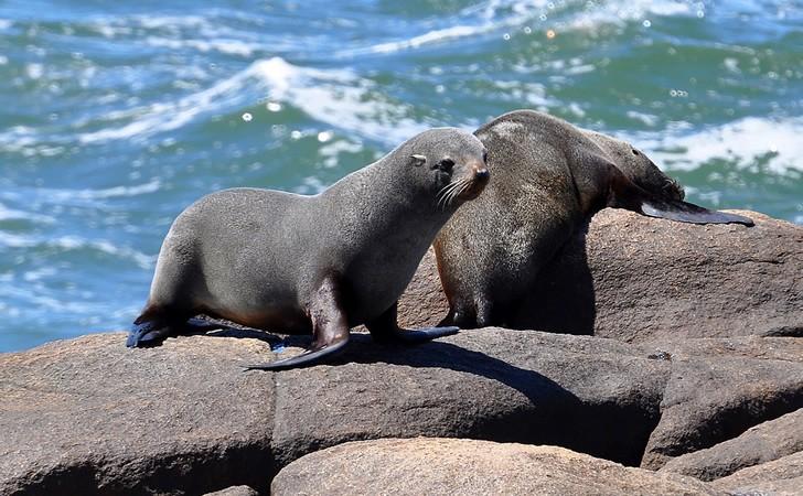 lobo-marino-fino-sudamericano