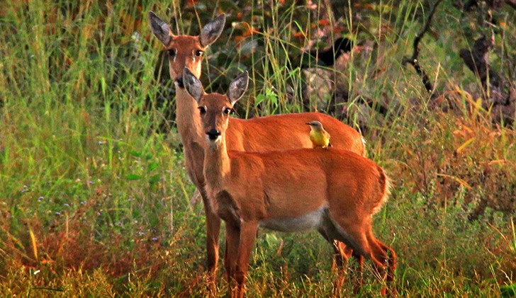 venado-de-campo-nativo-sudamerica