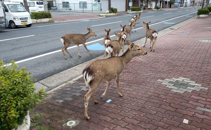 Ciervos salvajes recorren las calles de Nara, Japón / Foto: @okadennis