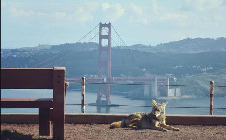 Coyote descansando en un punto turístico de San Francisco / Foto: u/mac_is_crack