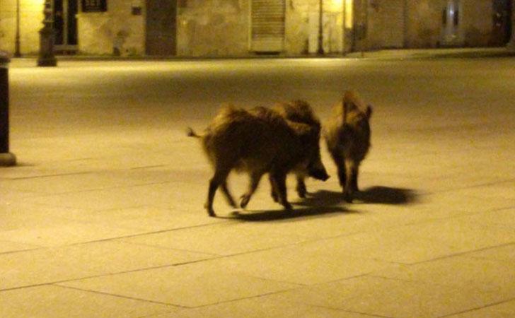 Jabalí junto a sus crías en Italia