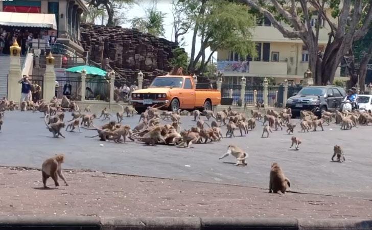 Monos pelean por un trozo de comida