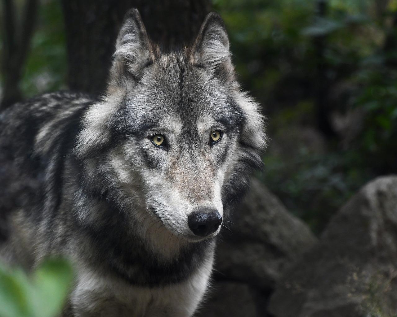 Gobierno de Trump quita protección legal a los lobos grises, especie en peligro de extinción